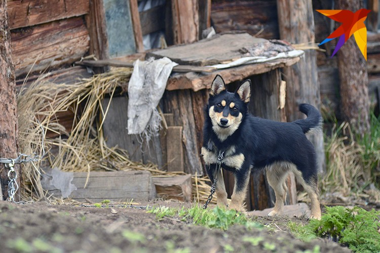 Одна из собак Агафьи