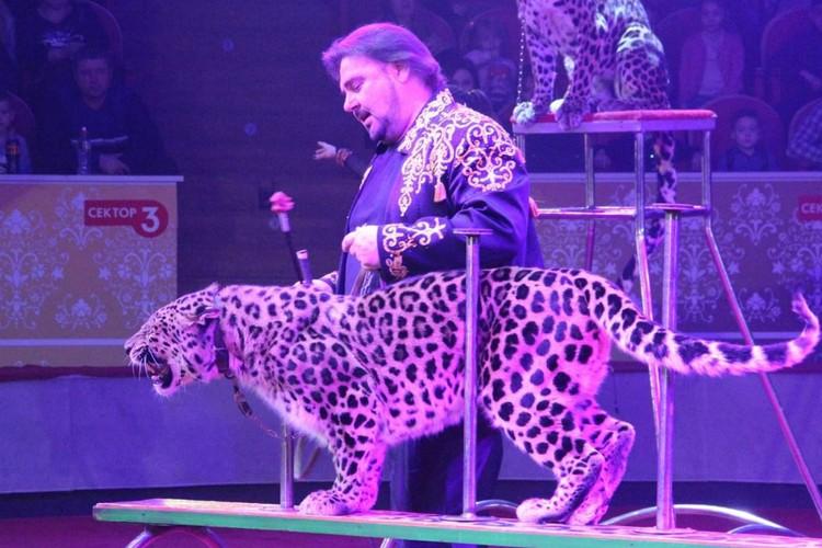 Номер с леопардами, которые прыгают на дрессировщика, – уникальный, авторский. Фото: vk.com/cirkzverey