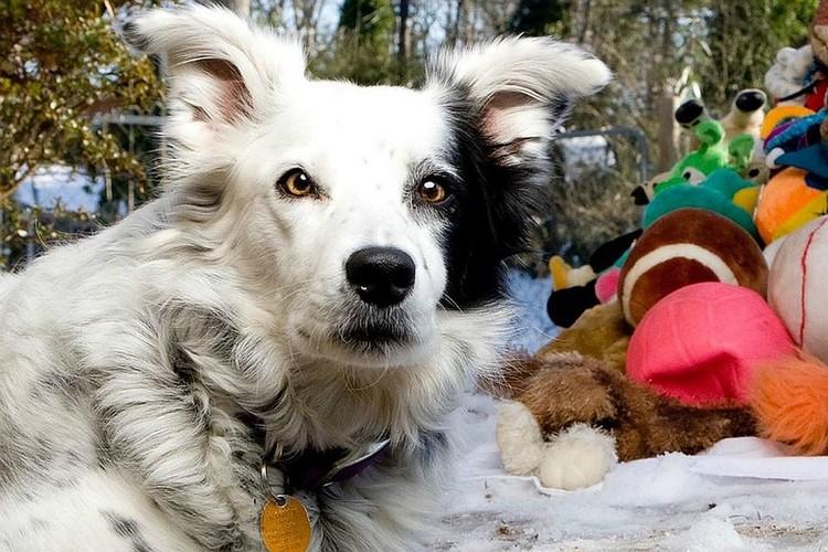 Чейсер, которую назвали самой умной собакой в мире, теперь хотят поставить памятник на родине