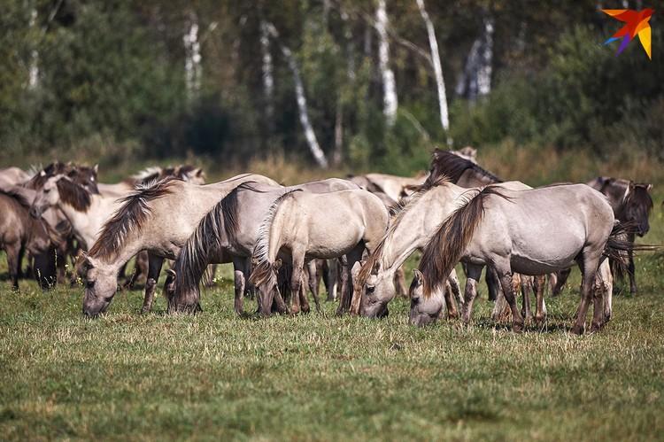Диких лошадей можно назвать естественной «газонокосилкой».