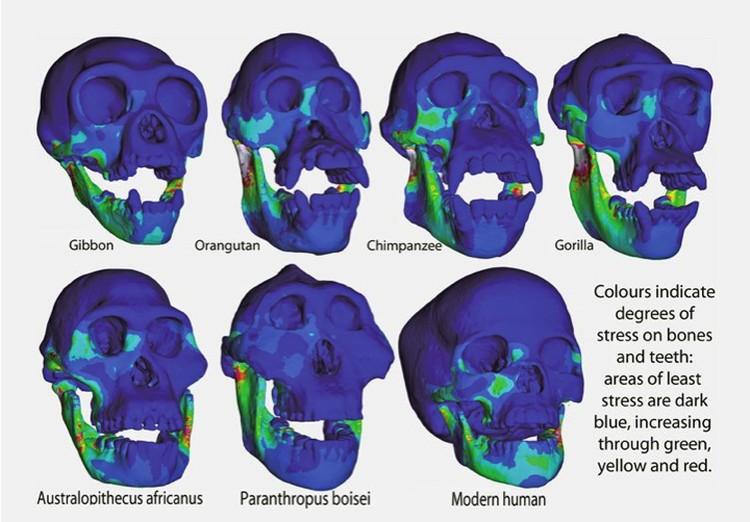 Распределение нагрузок на черепа приматов.