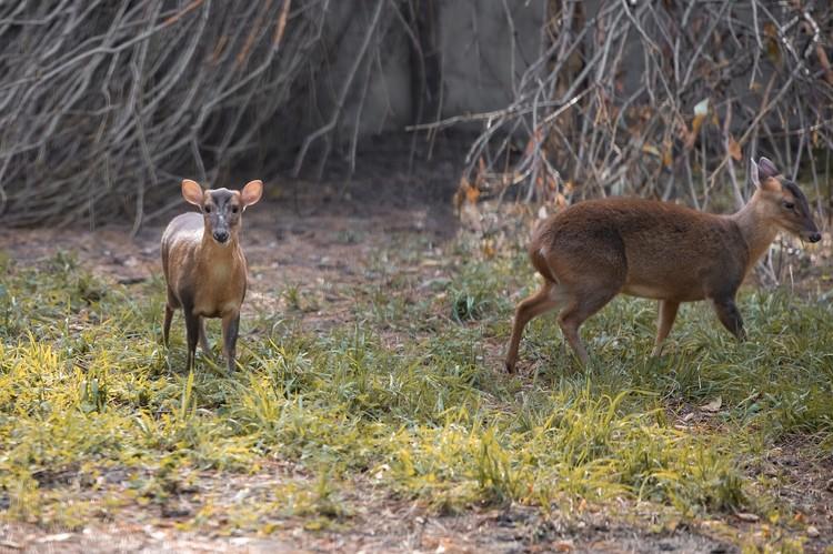 Мунтжаки – это небольшие олени, небольшие олени, которые живут в восточной и южной Азии.»