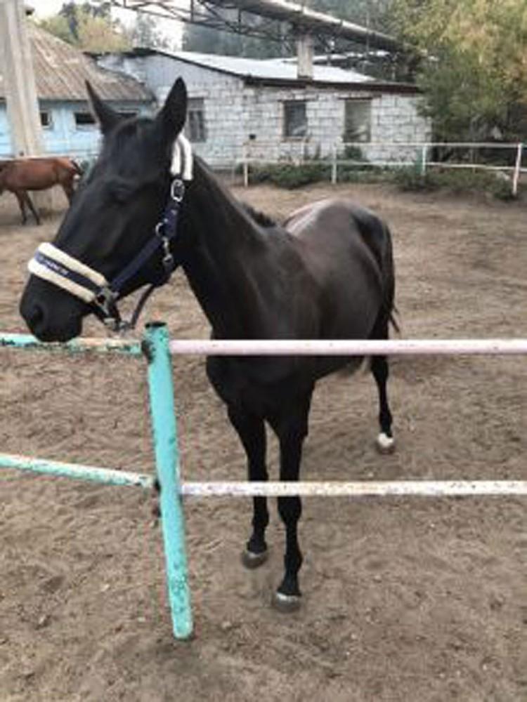 За лошадку цвета воронова крыла Анна Трегубенко попросила 360 тысяч. Фото: Avito.ru