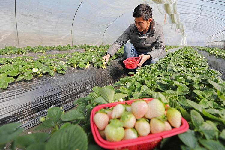 В 2012 году в продажу поступила pineberry - белая клубника со вкусом ананаса