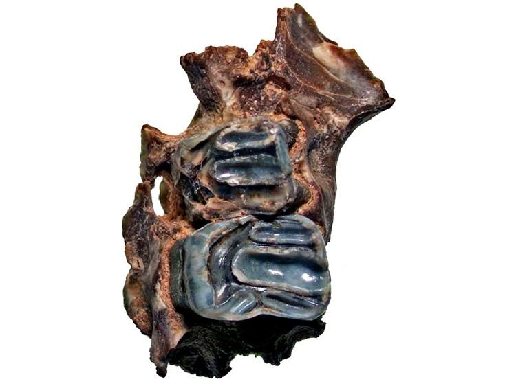 Фрагмент челюсти нового вида летяши. Фото: ФНЦ Биоразнообразия ДВО РАН