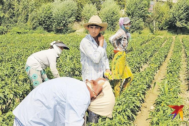Таджикские крестьяне работают на земле, которая теперь принадлежит китайцам.