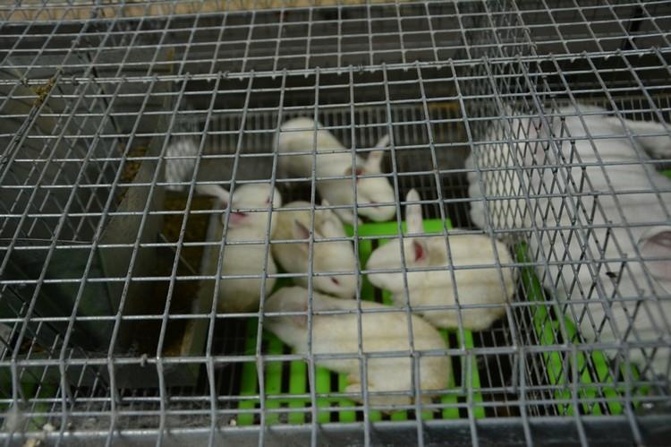 Кролики на ферме ООО «Агрофирма «Спартак». Фото с сайта энгельсской администрации. Август 2019 года