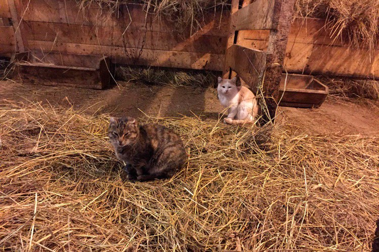 Кошки охотятся за мышами в коровнике.