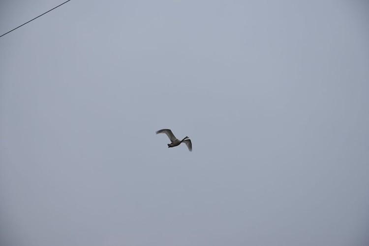 До момента миграции судьбу оставшихся лебедей будут отслеживать местные жители. Фото Александра Зубарева