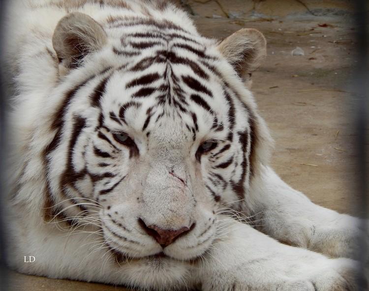 В парке живут белые тигры. Фото: пресс-служба зоопарка