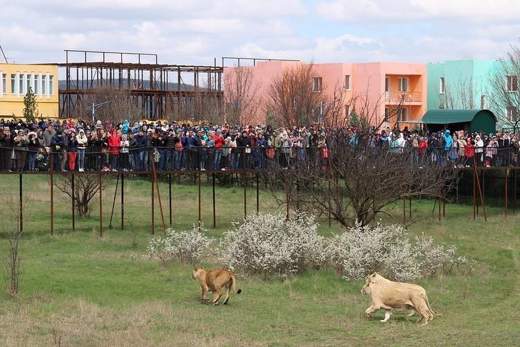 """Каждую весну в саванну """"Тайгана"""" из зимних домиков выпускают львов. Поглазеть на это съезжаются сотни туристов."""