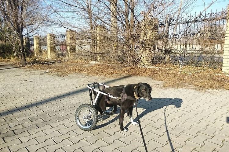 """Собака – инвалид с парализованными задними лапками. Фото: приют """"4 ЛАПКИ"""""""