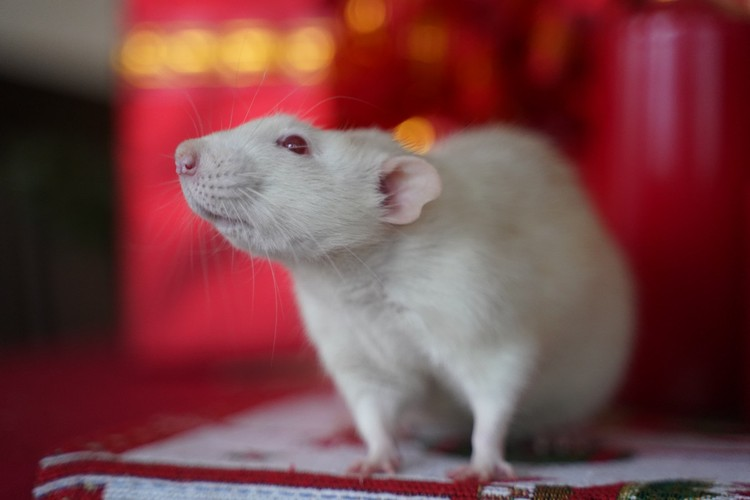 Крыса - любопытный зверек