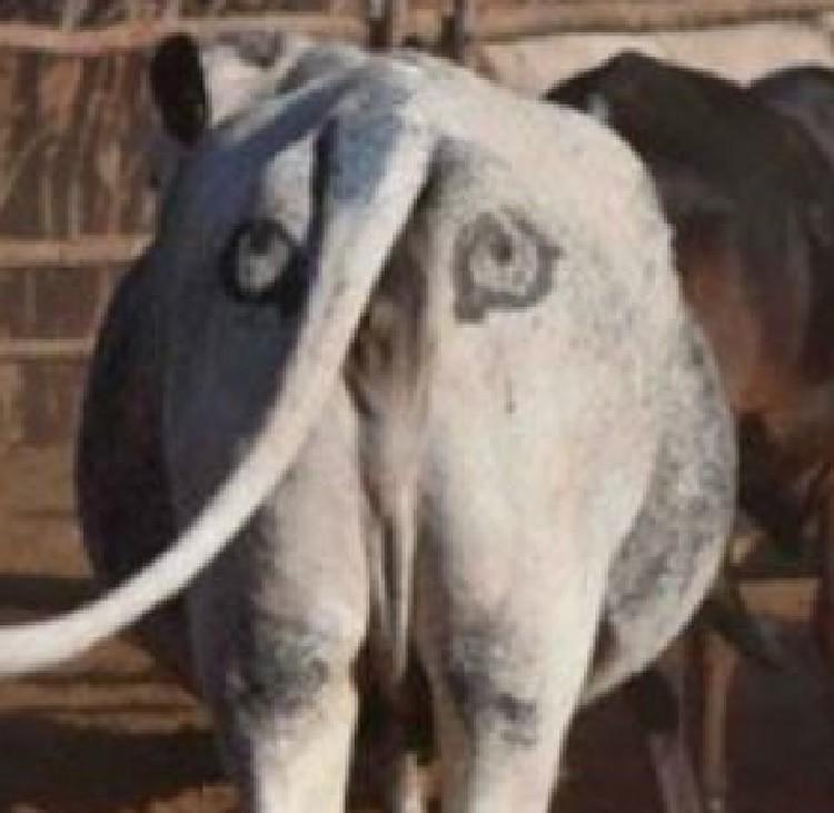 Корова с глазами на заднице не станет добычей льва. Он стесняется нападать, если жертва на него сморит.