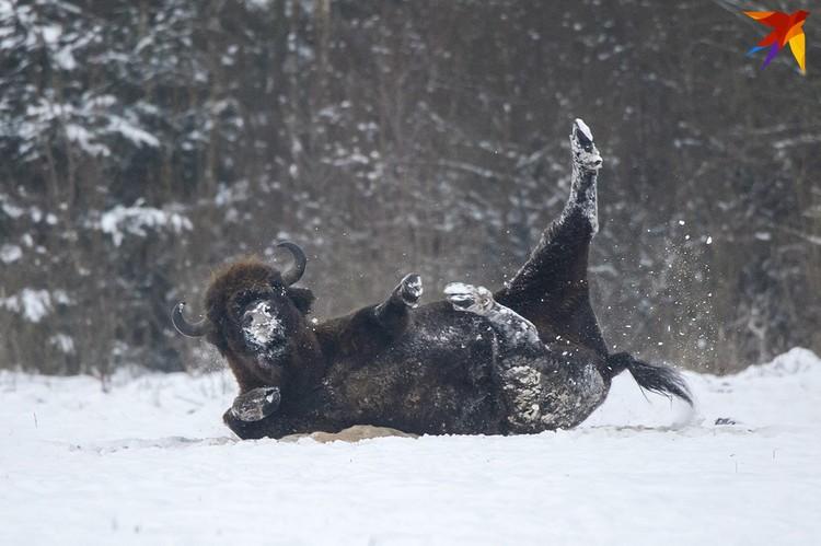 Зимние зубриные забавы.