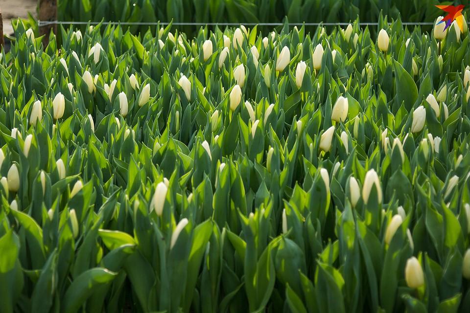 Тюльпаны срывают до того, как они раскрылись - тогда они будут долго стоять дома. Фото: Надежда ПАВЛЮЧИК