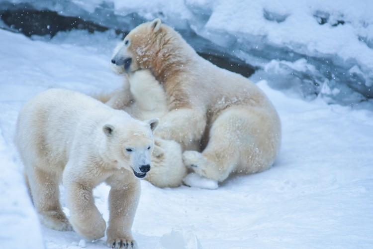 Шайна — очень игривая медведица, но маму чаще задирает брат.