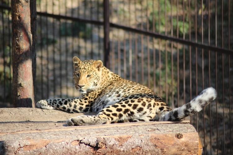 Дальневосточный леопард - один из тех зверей, кому в первую очередь нужна качественная пища.