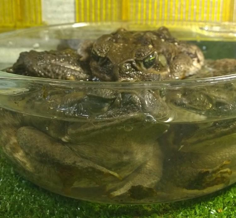 """Жабы спрятались в """"купалке"""". Фото: Дом природы"""