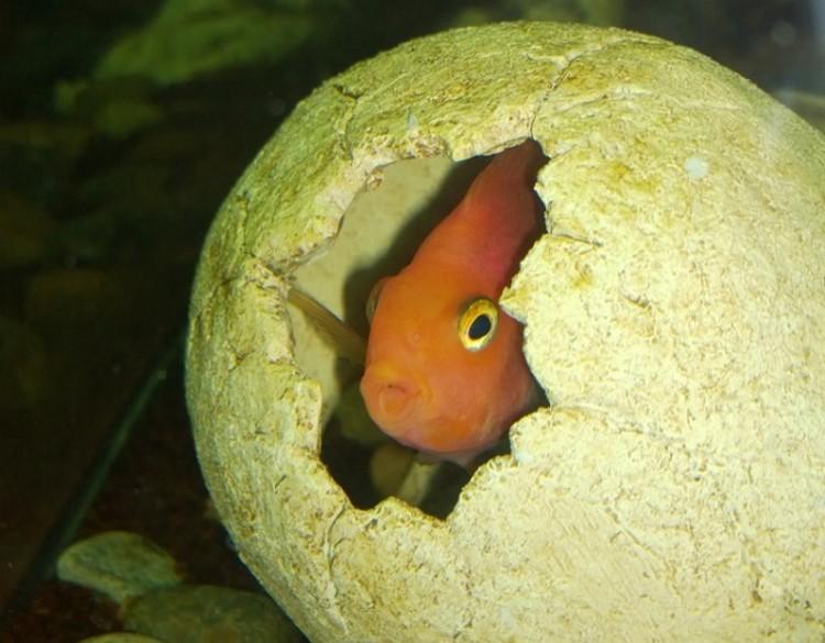 """Рыбка укрылась в декоративном """"черепе"""". Фото: Дом природы"""