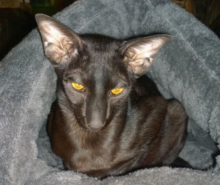 Кошка Тьмуша породы ориентал - в подаренном волонтерами домике. Фото: Дом природы