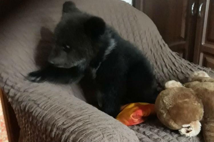 Владимир не побоялся принести медвежонка в свою квартиру. Фото: личный архив Владимира Норина.