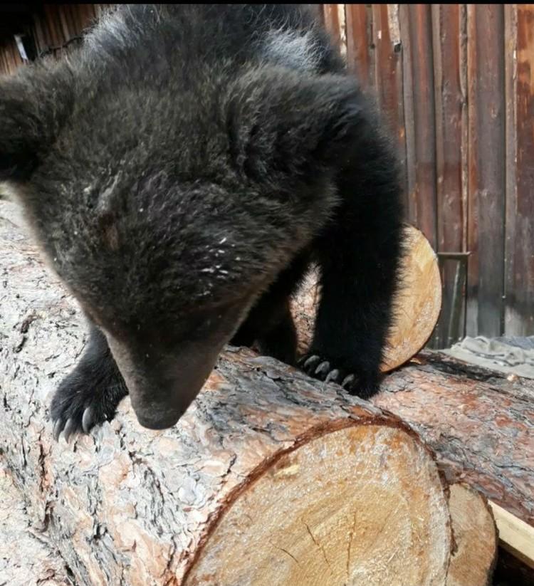 Миша очень смышленый и артистичный медвежонок. Фото: личный архив Владимира Норина.