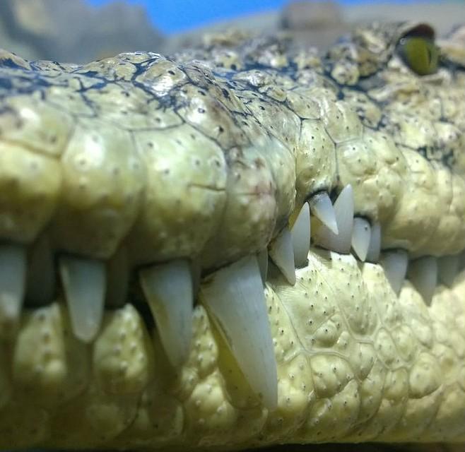 Нильский крокодил. Фото: иркутская зоогалерея.