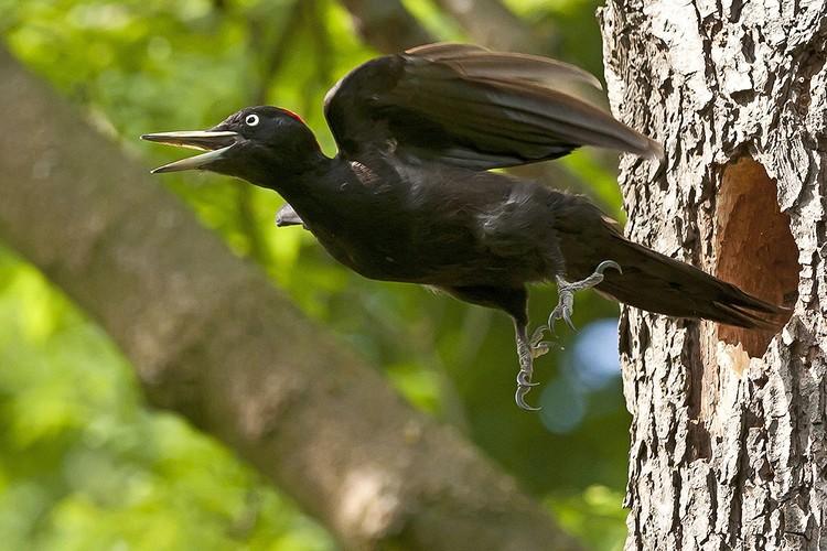 Желна (Dryocopus martius) - лесная птица из семейства дятловых.