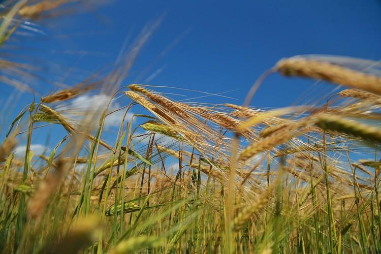 Сегодня Васильев обрабатывает более 2 тысяч гектаров в год. На полях фермера - элитные сорта зерновых культур.
