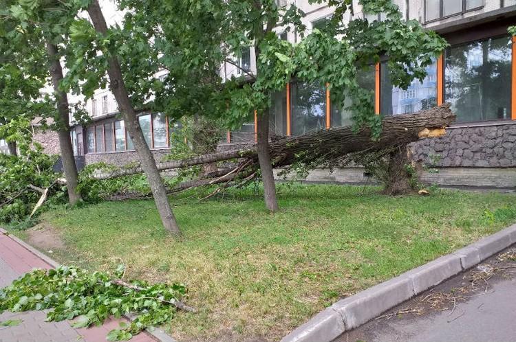 Ветер не пощадил даже мощные деревья