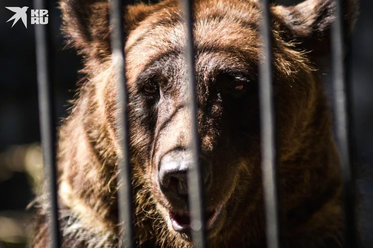 Бурые медведи равнодушны к вниманию публики.