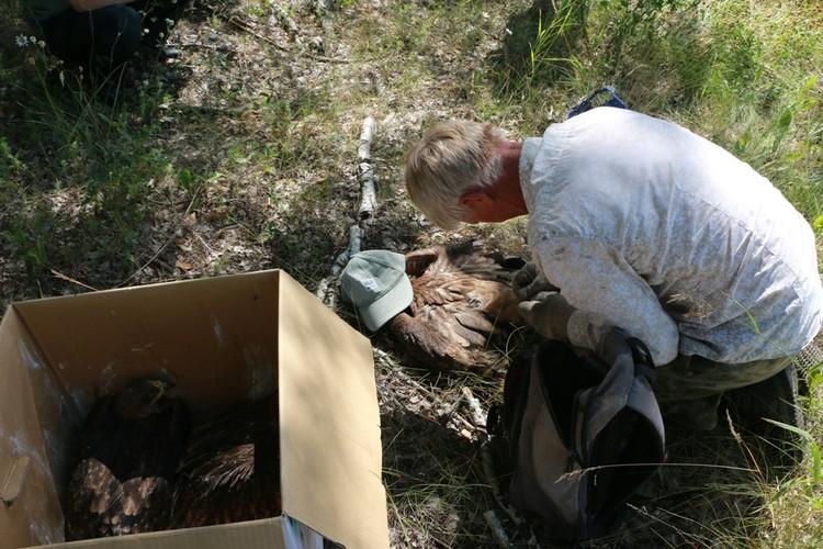 """Сразу трех орлят привезли орнитологам. Фото Национального парка """"Нижняя Кама"""""""