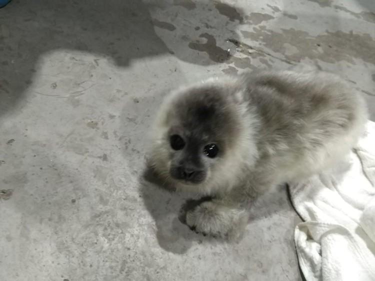 А таким малыш был зимой, когда его нашли неподалеку от Шлиссельбурга. Фото: vk.com/sealrescue