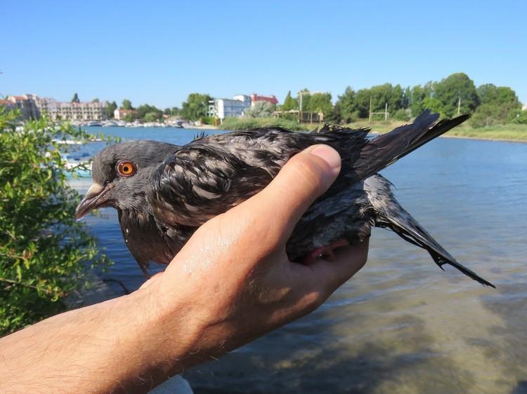 Этому голубю крупно повезло Фото: Виталий Гирагосов