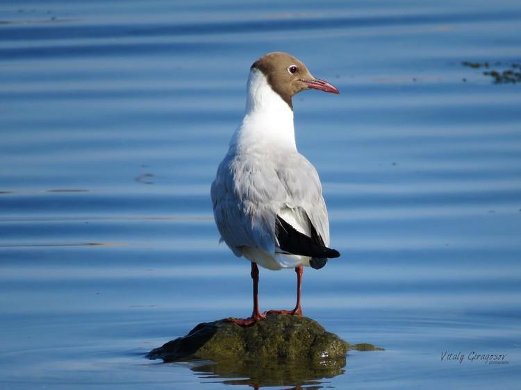 Озерная чайка меняет прическу в зависимости от времени года Фото: Виталий Гирагосов