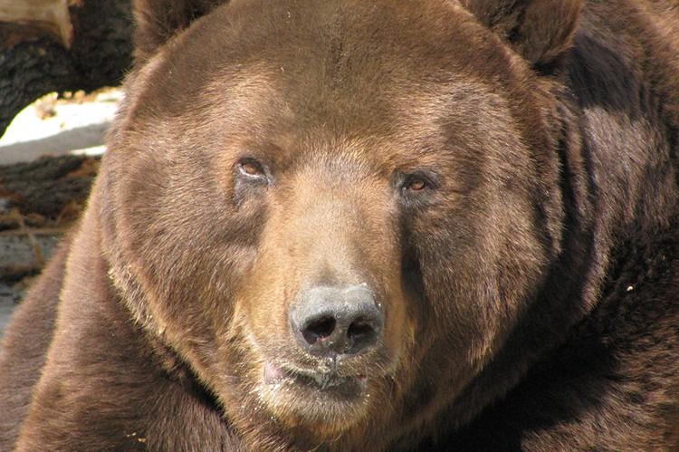 Медведь редко нападает сам