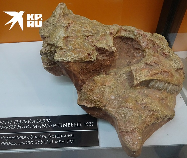 Череп парейазавра, найденный на берегу Вятки