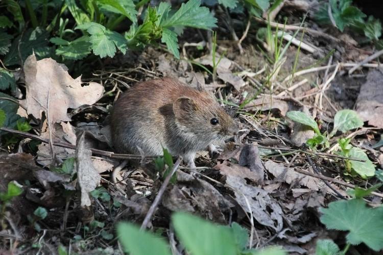 Первые испытания провели с полевой мышью.