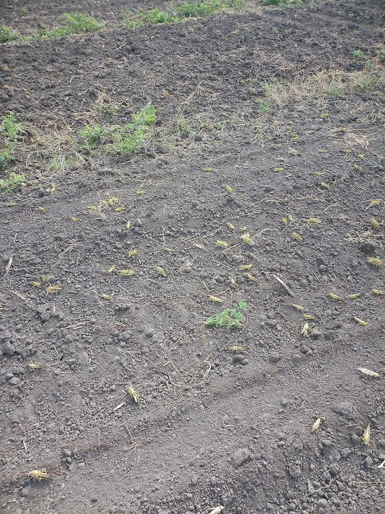 Саранча в Краснодарском крае может повлиять на урожай риса Фото: Россельхозцентр