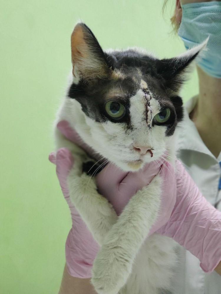 После операции кошечка выглядит пугающе, но скоро все заживет
