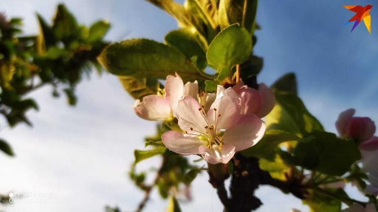 В Анапе еще и яблоня цветет. Фото: Вячеслав Ревун