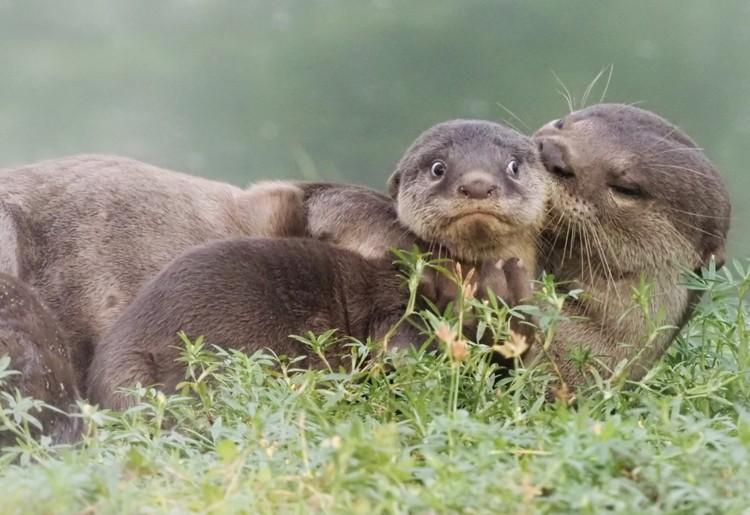 «Мама, ну зачем эти нежности, я уже большой!». Фото: © Max Teo/Comedy Wildlife Photo Awards 2020