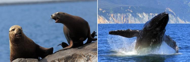 В Авачинской бухте спокойно чувствует себя нерпы, морские львы. А в августе заплывали киты. Фото: Александр Соколов