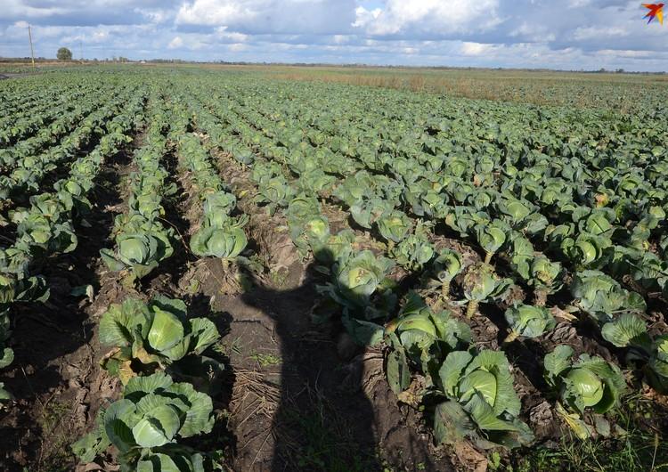 Ольшанцы угрожают оставить капусту на полях, если она так и будет стоить 10 копеек.