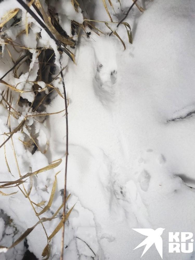 Интересный след – в отпечатке лапки зайца крохотная лапка какого-то мелкого грызуна, ему так удобно ходить по глубокому снегу…