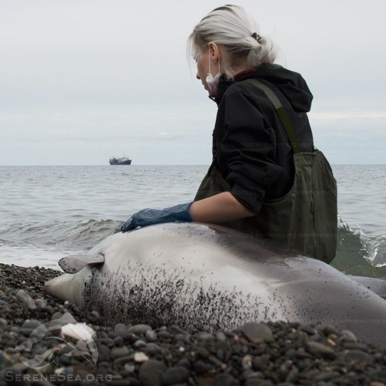 Ученые делают все возможное, чтобы спасти китообразных. Фото: Центр реабилитации дельфинов «Безмятежное Море»/VK