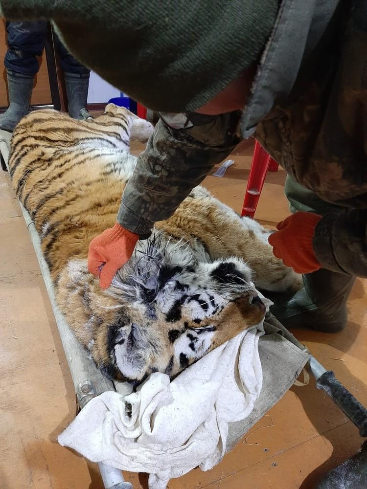 Тигрица получила сильные повреждения. Фото: Центр «Амурский тигр»