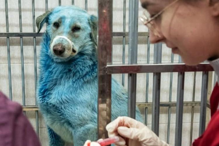 Сейчас за голубыми собаками наблюдают ветеринары. Фото: Зоозащита-НН