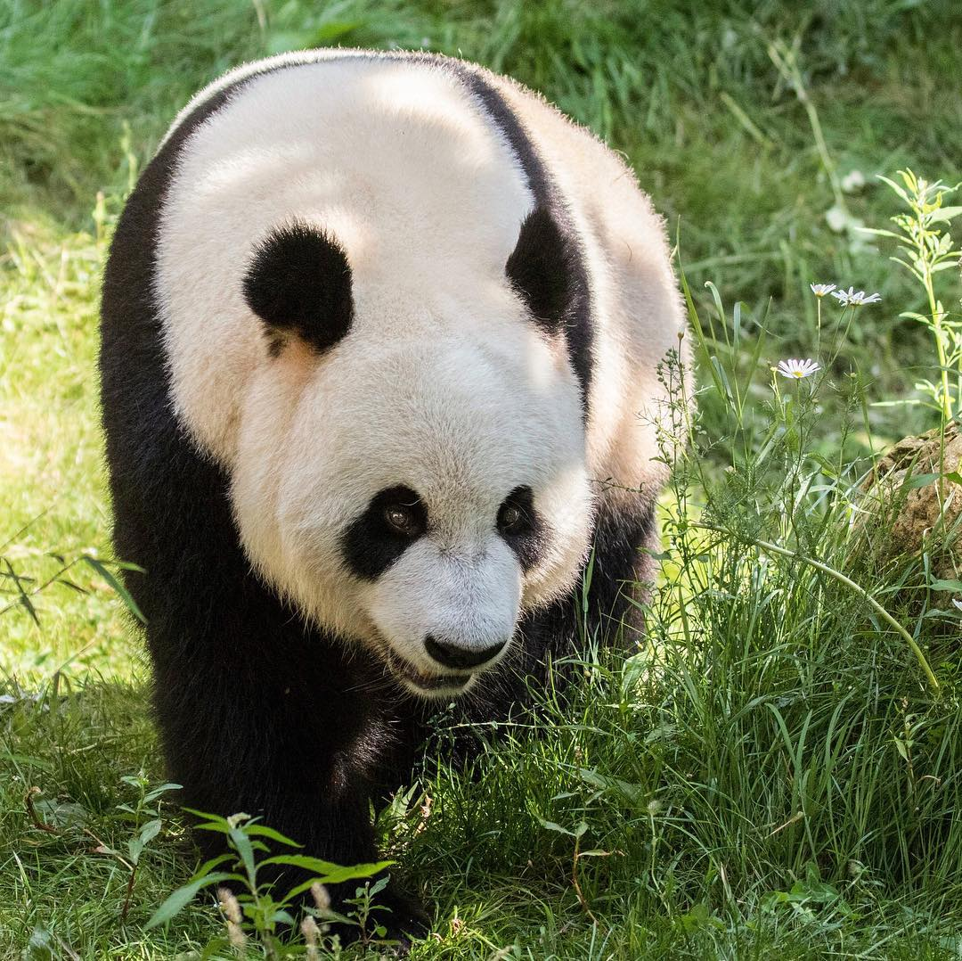 Из-за низкого либидо бамбуковые медведи находятся на грани вымирания - еда и сон им интереснее романтических приключений
